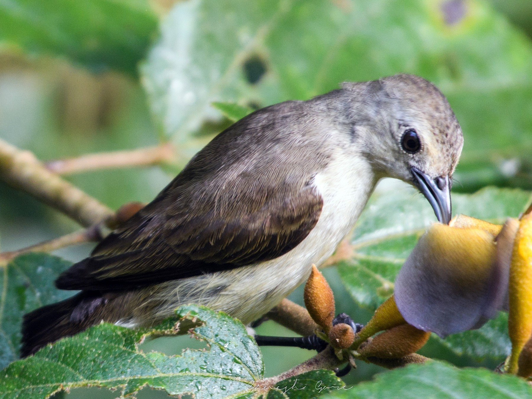 Nilgiri Flowerpecker - Ganesh Gore