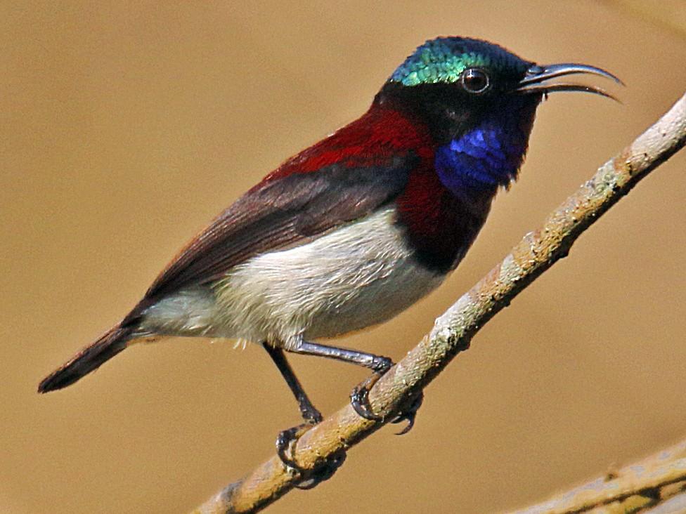 Crimson-backed Sunbird - S S Suresh