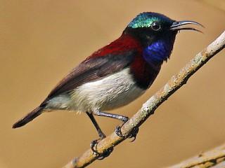 - Crimson-backed Sunbird