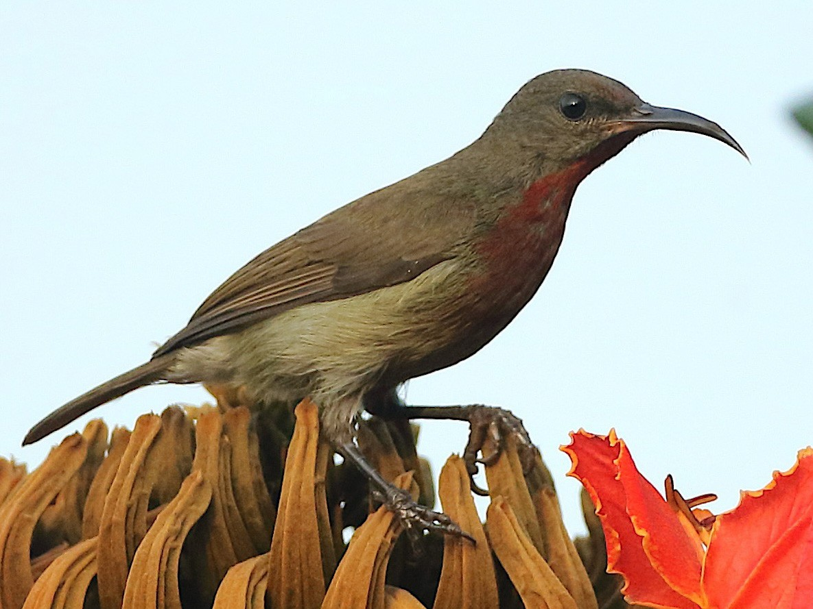 Vigors's Sunbird - Savio Fonseca (www.avocet-peregrine.com)