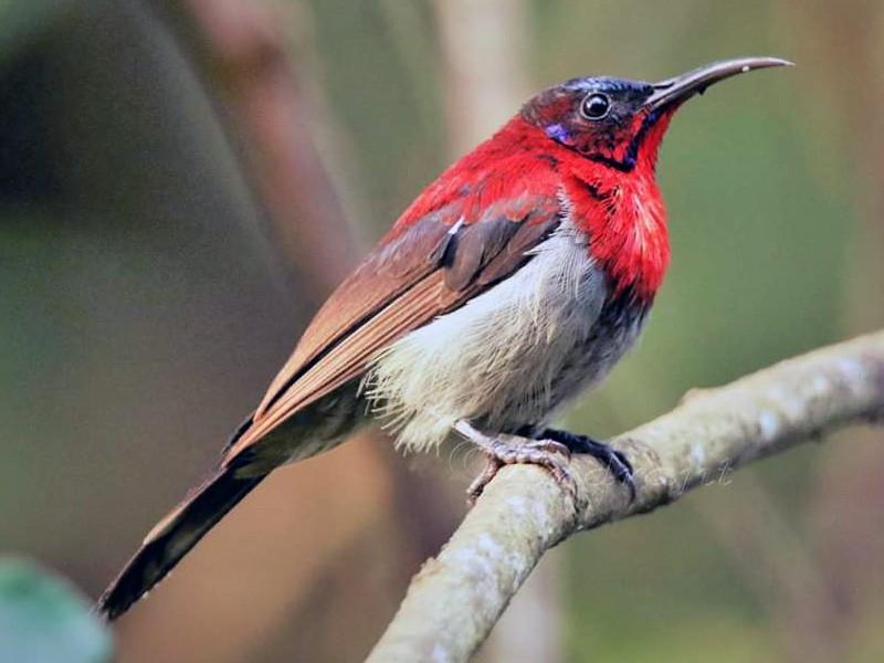 Vigors's Sunbird - Abhishek Shankar