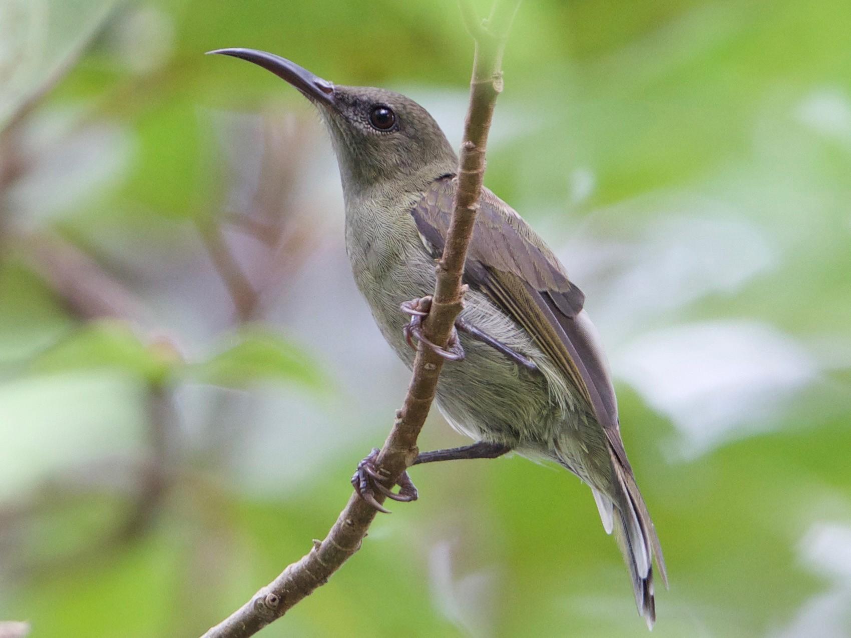 Vigors's Sunbird - Snehasis Sinha
