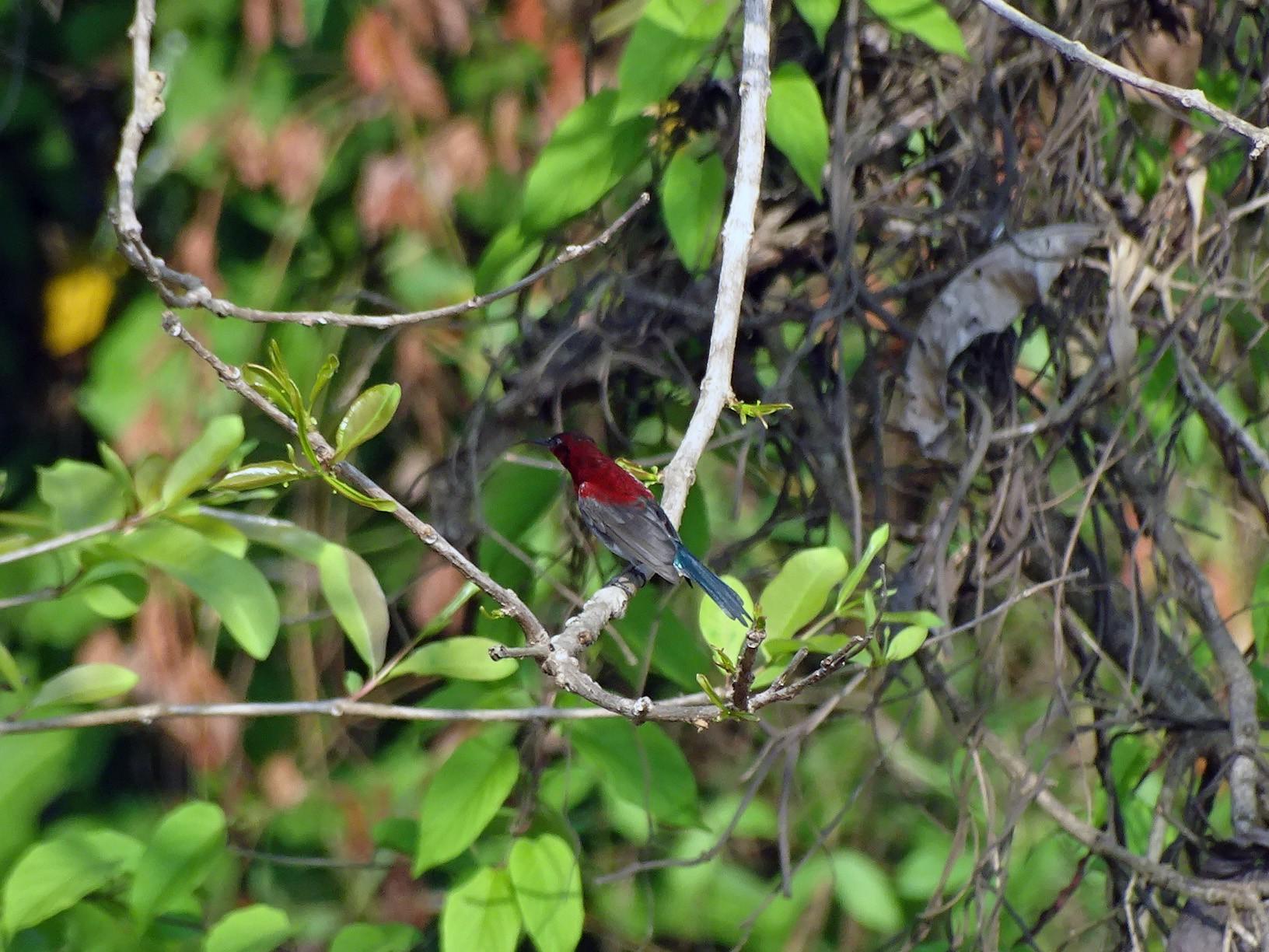 Vigors's Sunbird - Sneha Dharwadkar