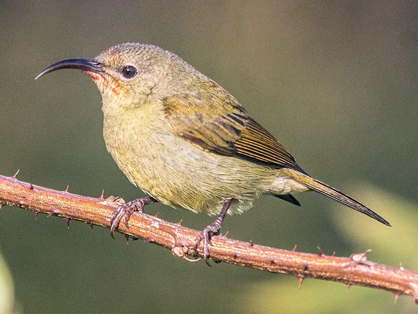 Crimson Sunbird - Balwant Negi