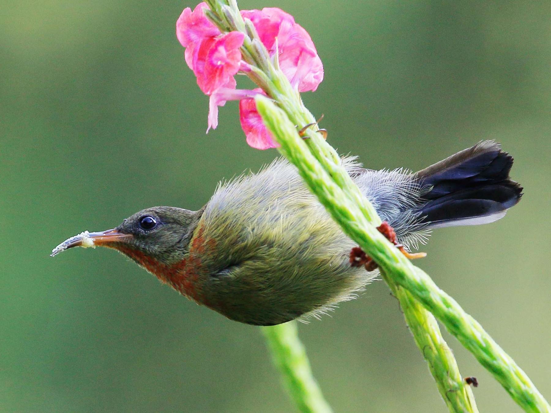 Crimson Sunbird - Neoh Hor Kee