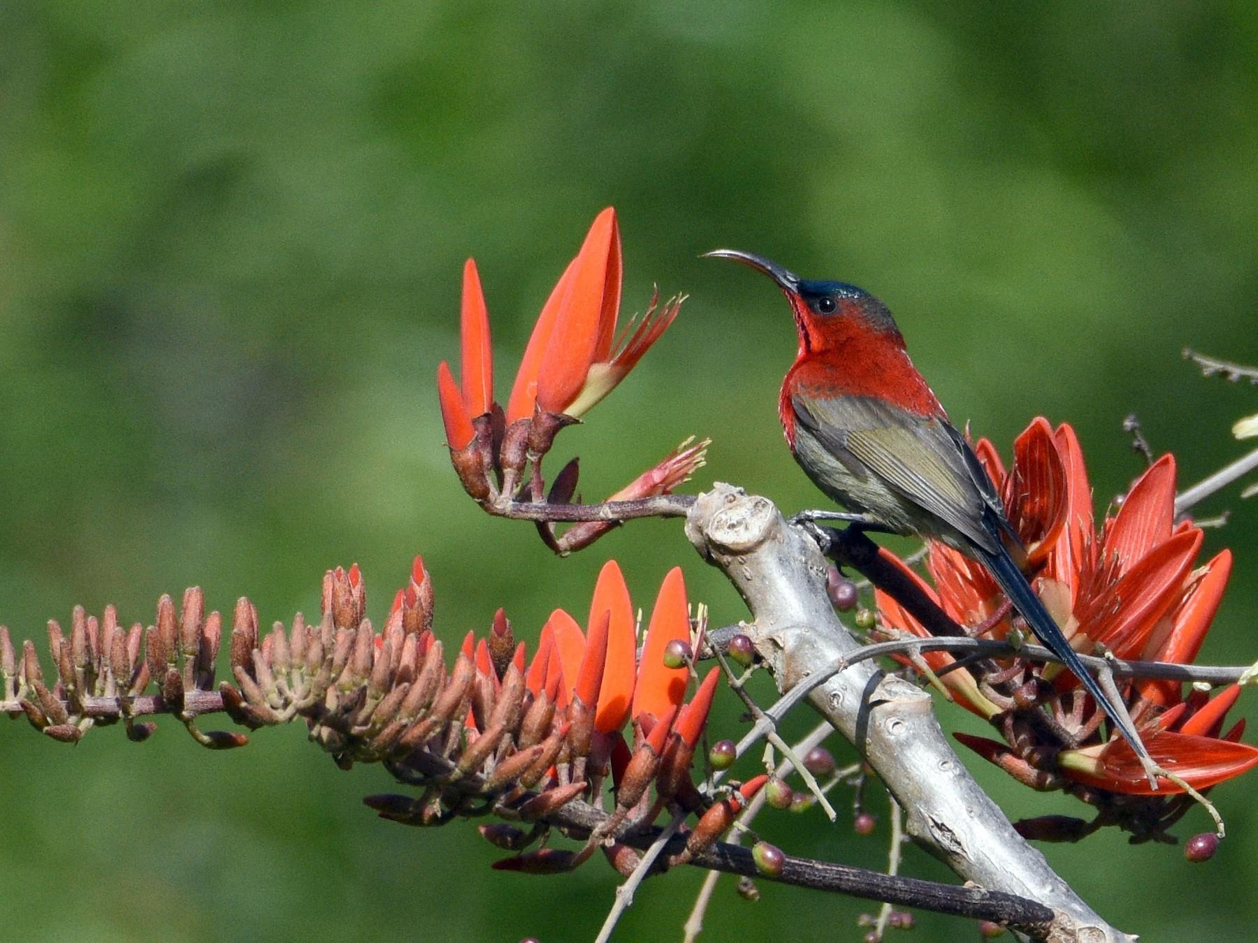 Crimson Sunbird - Sanjiv Khanna