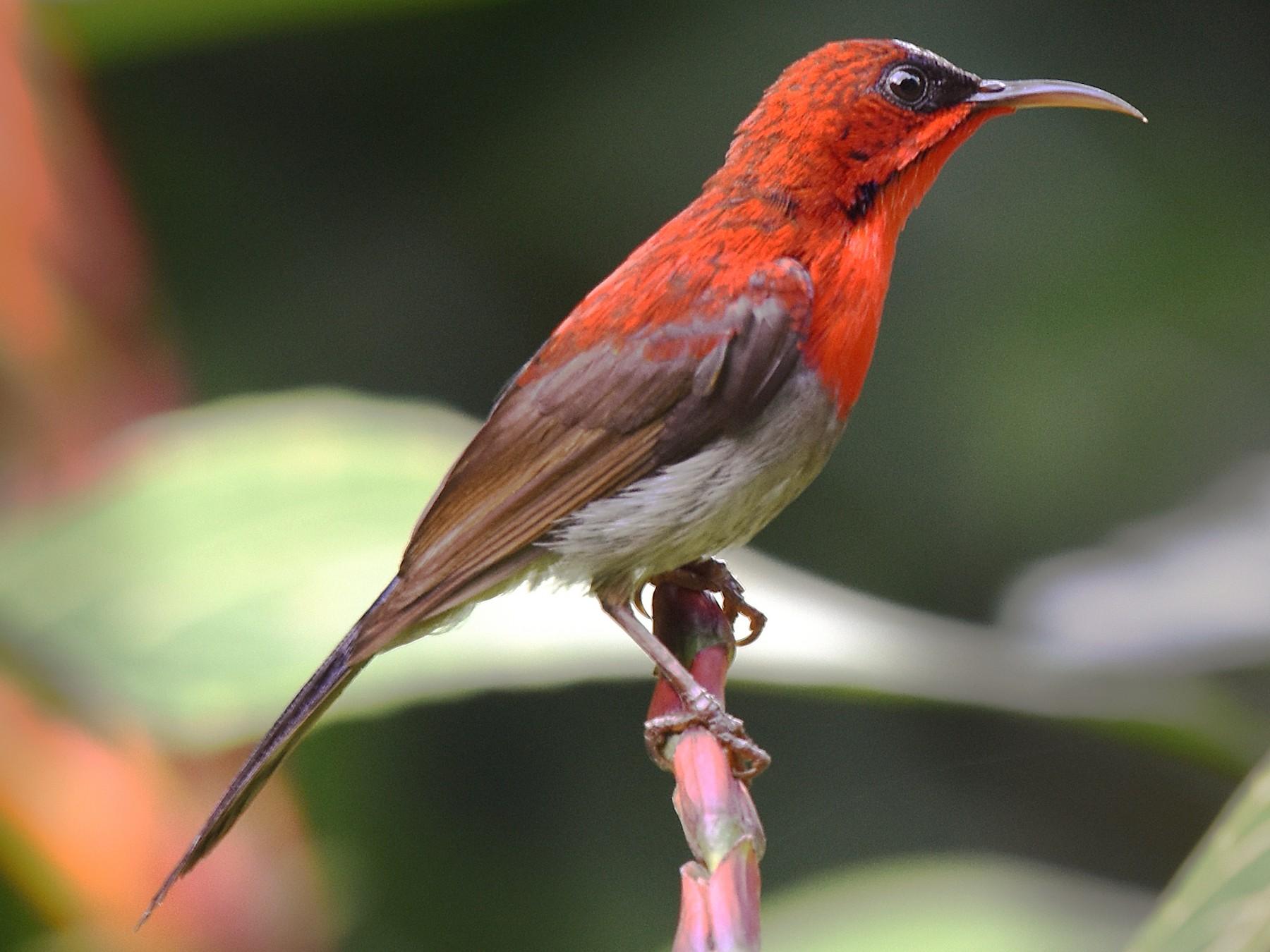 Crimson Sunbird - Michael Fuhrer