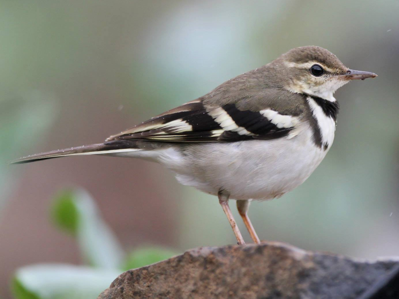 Forest Wagtail - Ting-Wei (廷維) HUNG (洪)