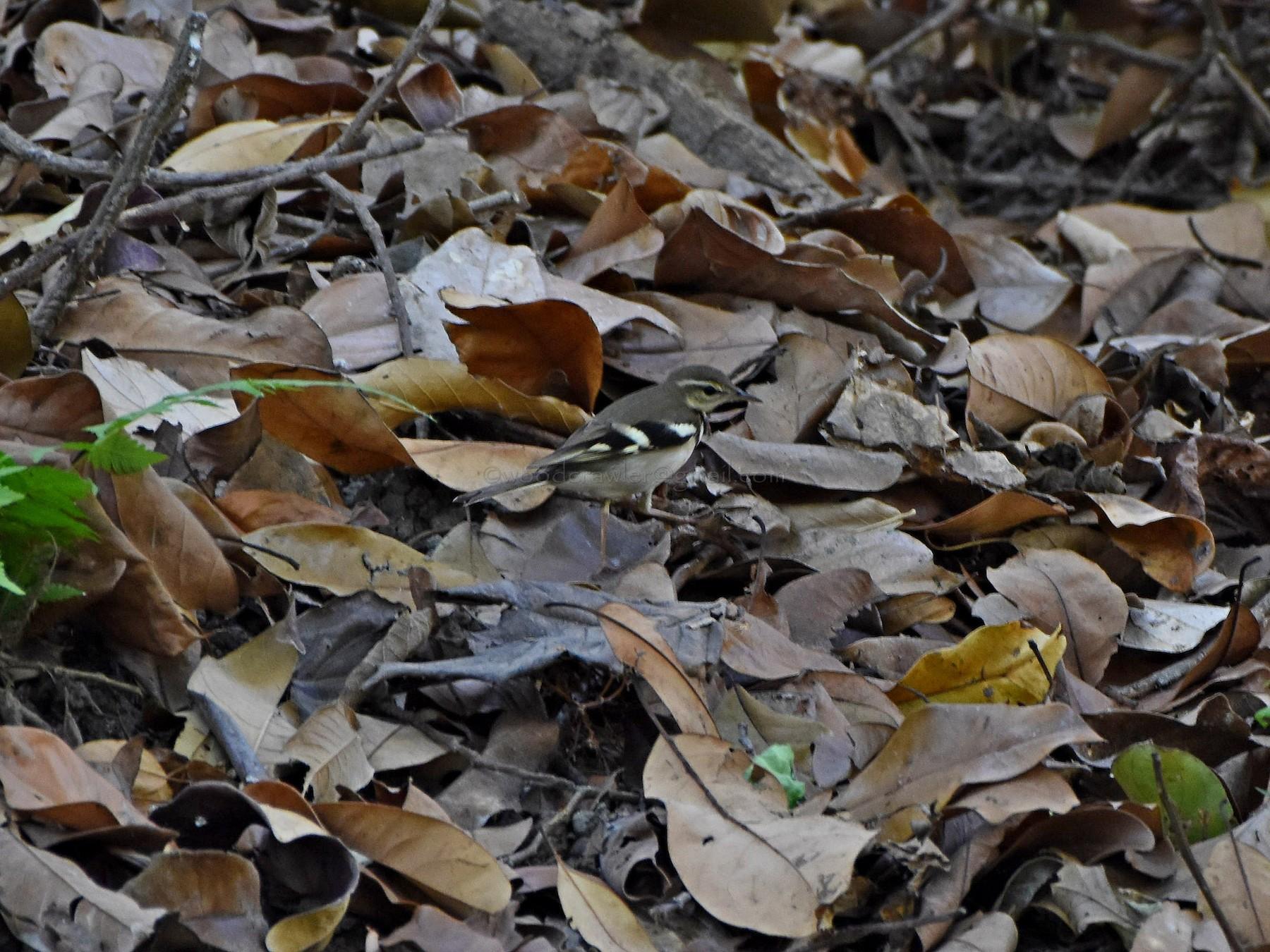 Forest Wagtail - Rajesh Radhakrishnan