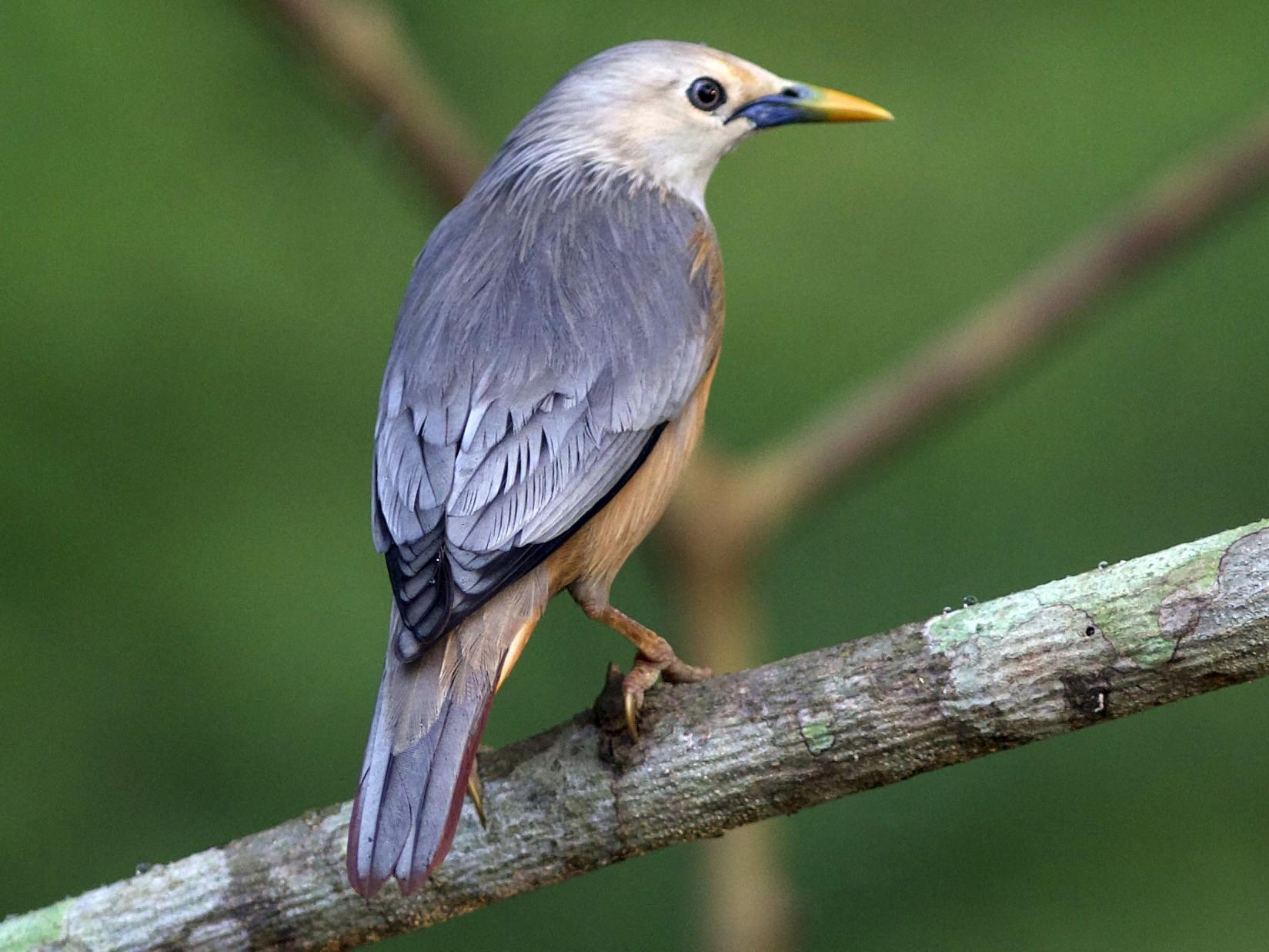 Malabar Starling - jaya samkutty