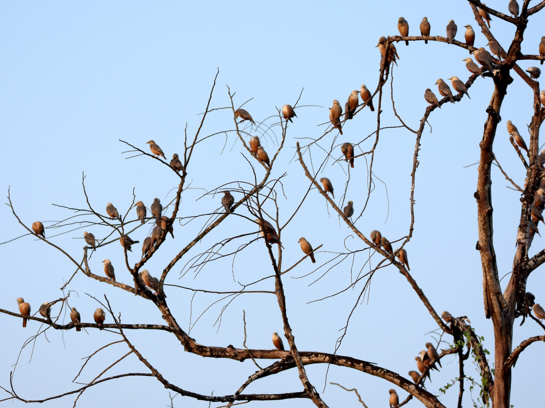 Malabar Starling - HG Prashanthakumar