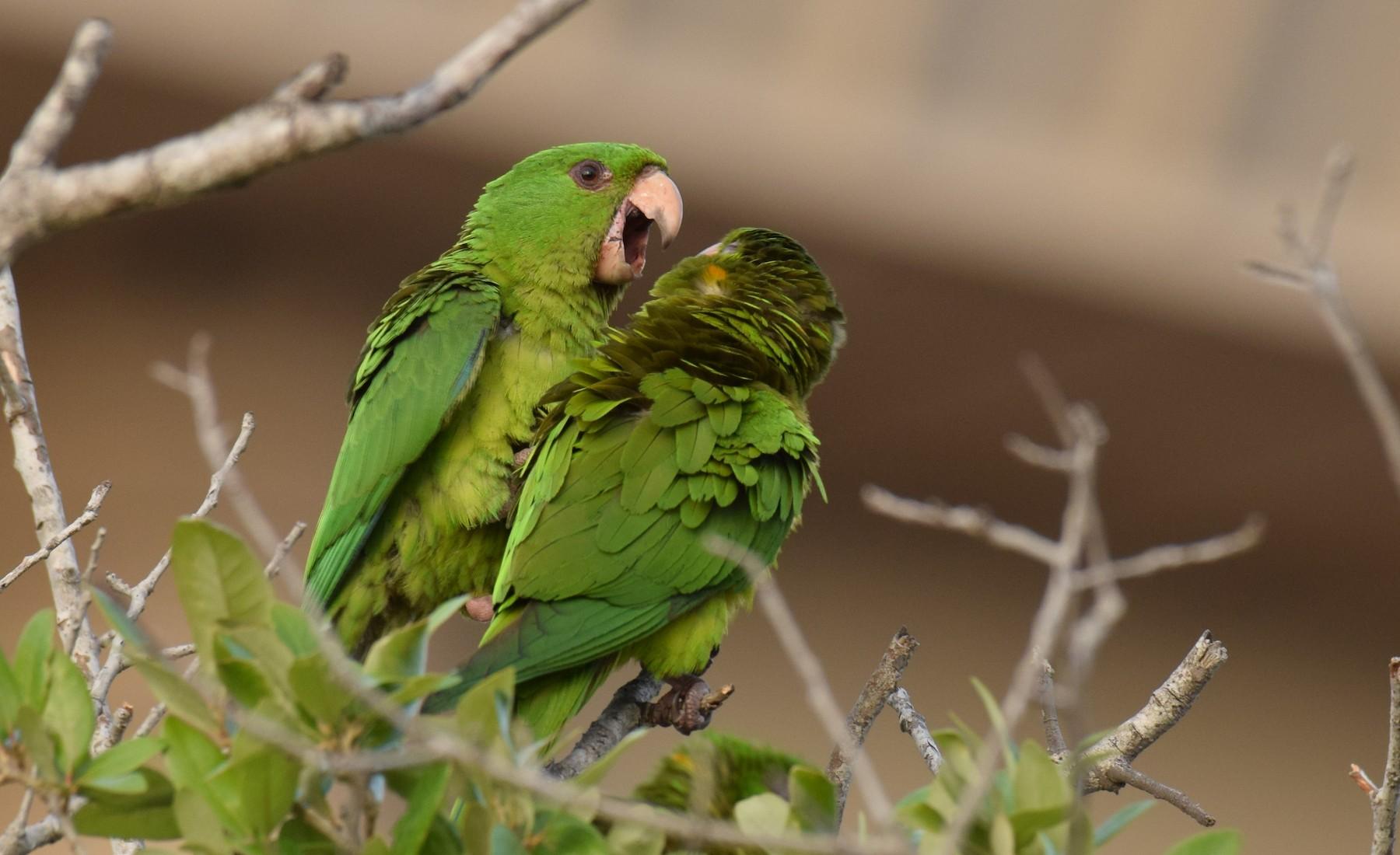 Una de las aves mexicanas es el perico verde.