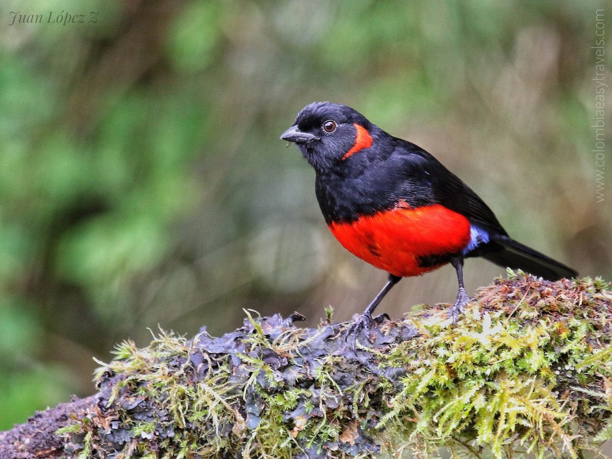 Scarlet-bellied Mountain Tanager ML156869361