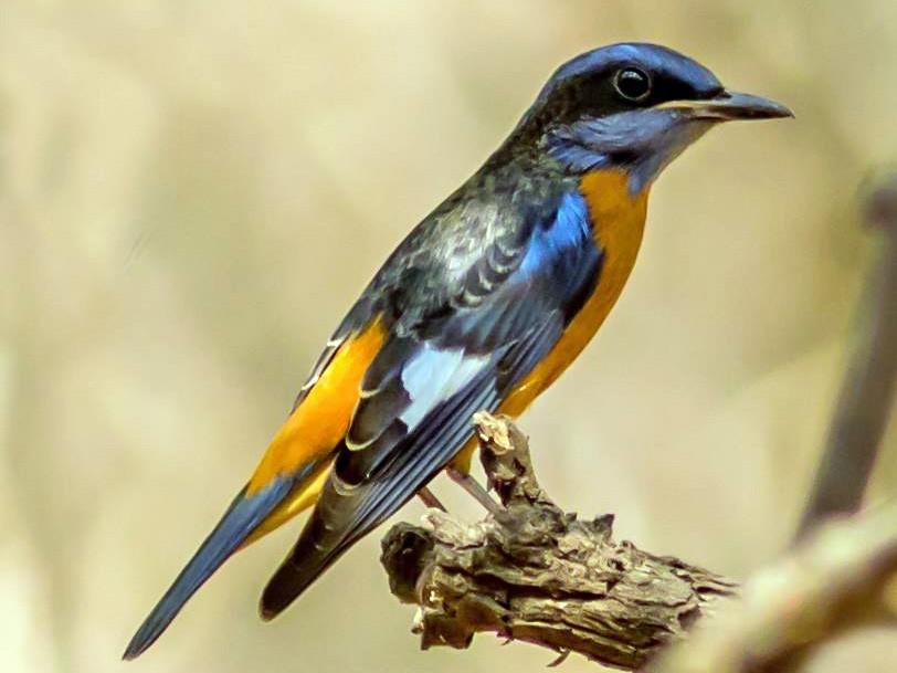 Blue-capped Rock-Thrush - Phani krishna Ravi