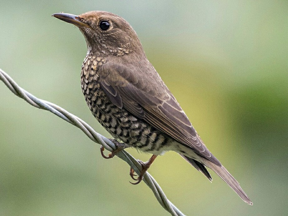 Blue-capped Rock-Thrush - Fareed Mohmed