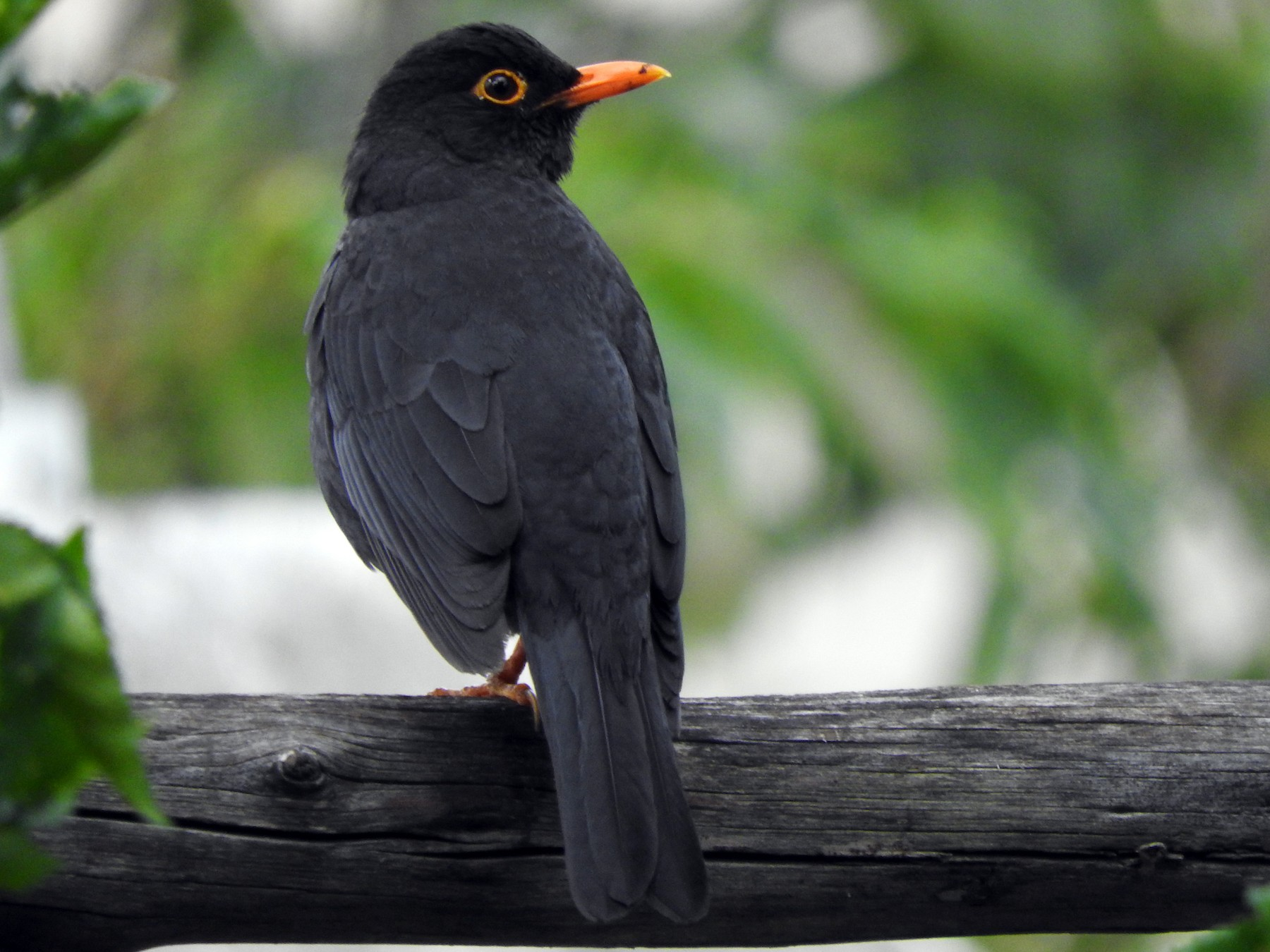 Indian Blackbird - Amara Bharathy