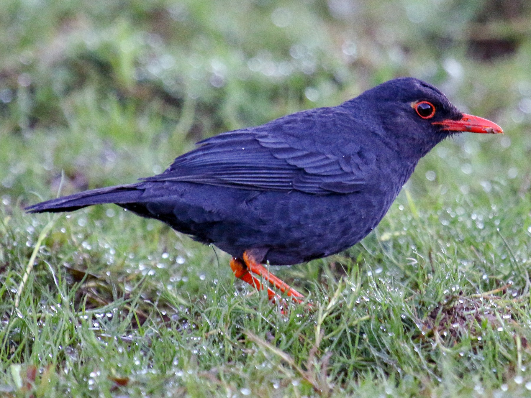 Indian Blackbird - Tommy Pedersen