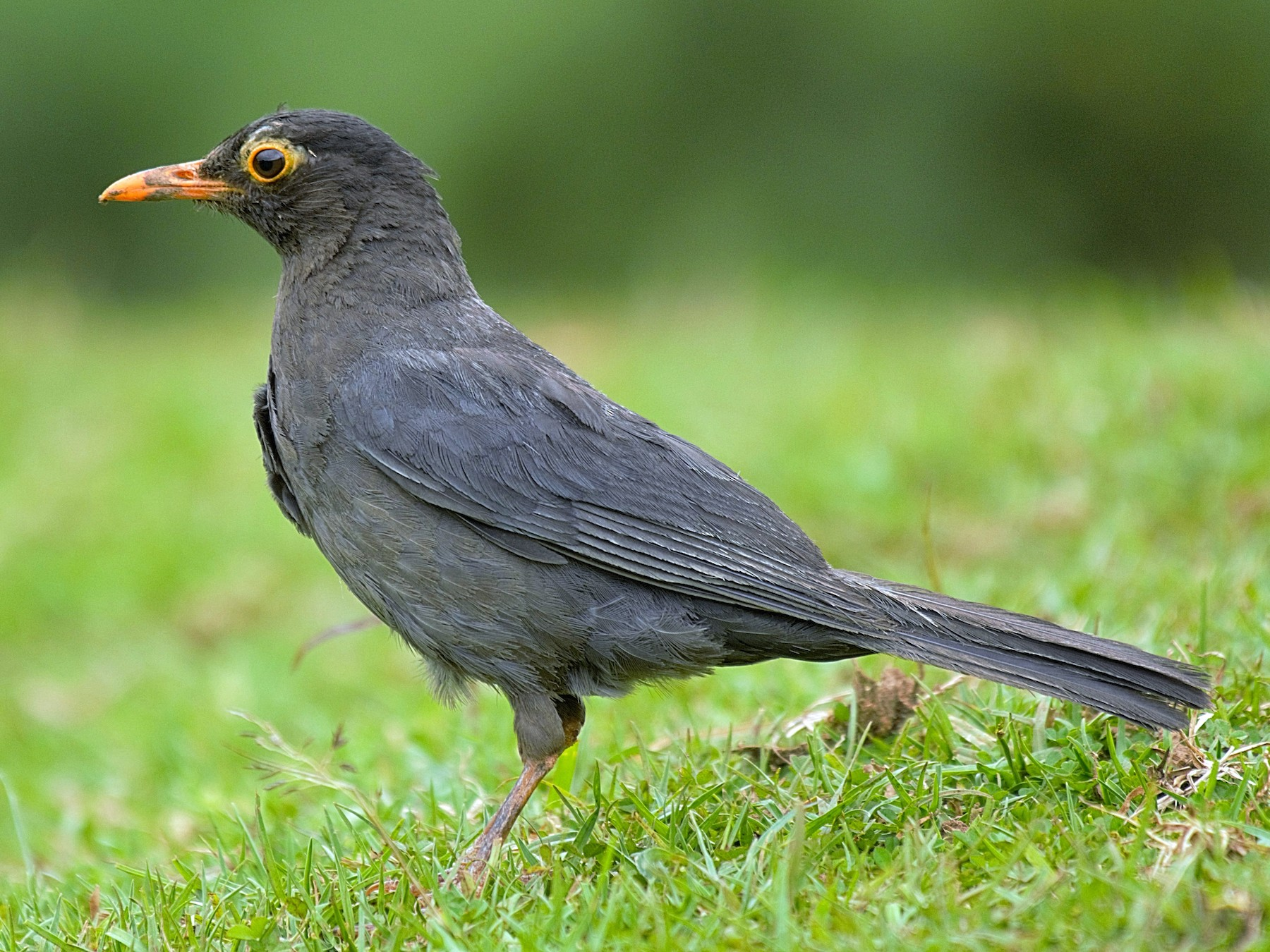 Indian Blackbird - Renuka Vijayaraghavan