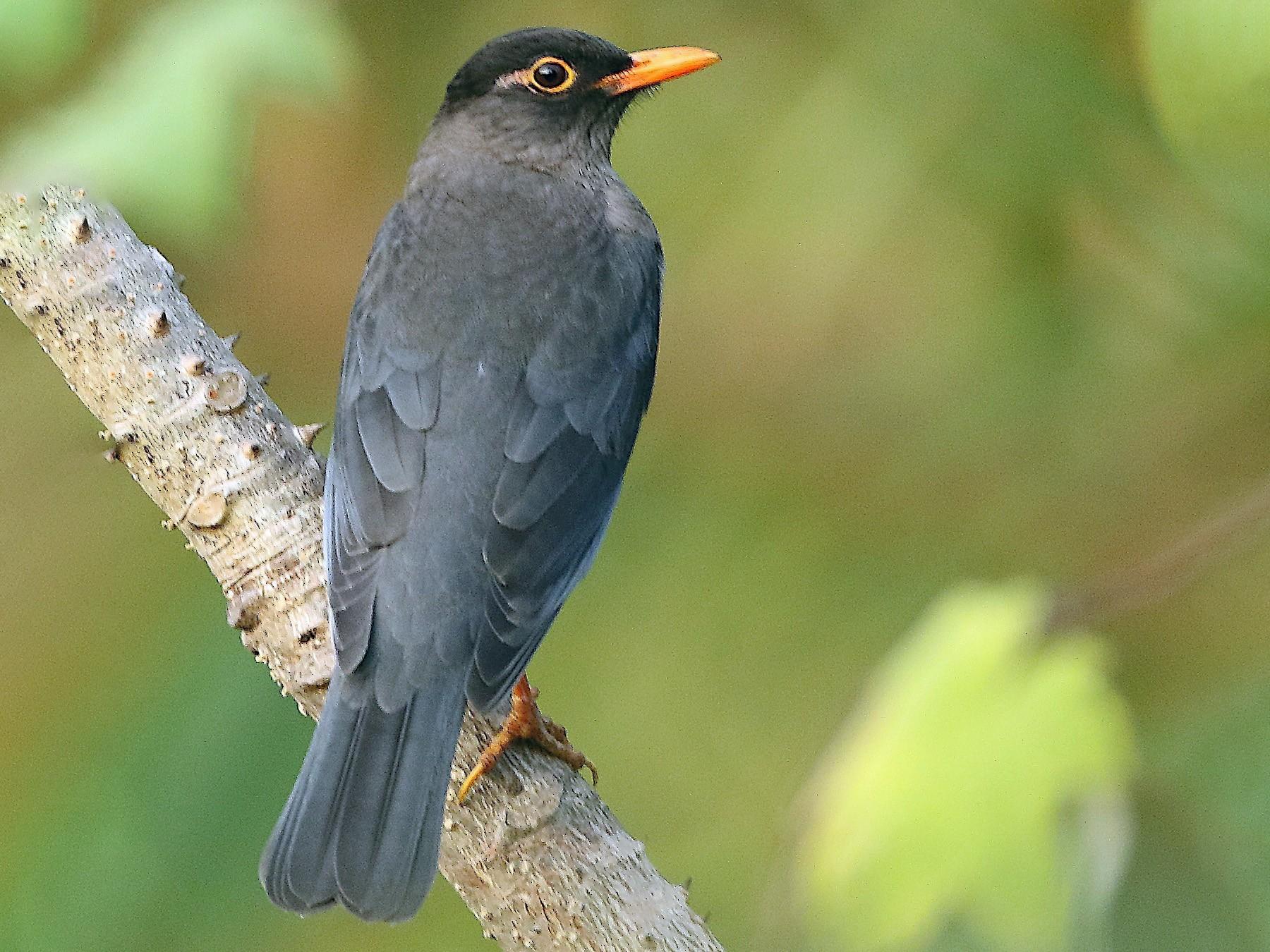 Indian Blackbird - Savio Fonseca (www.avocet-peregrine.com)