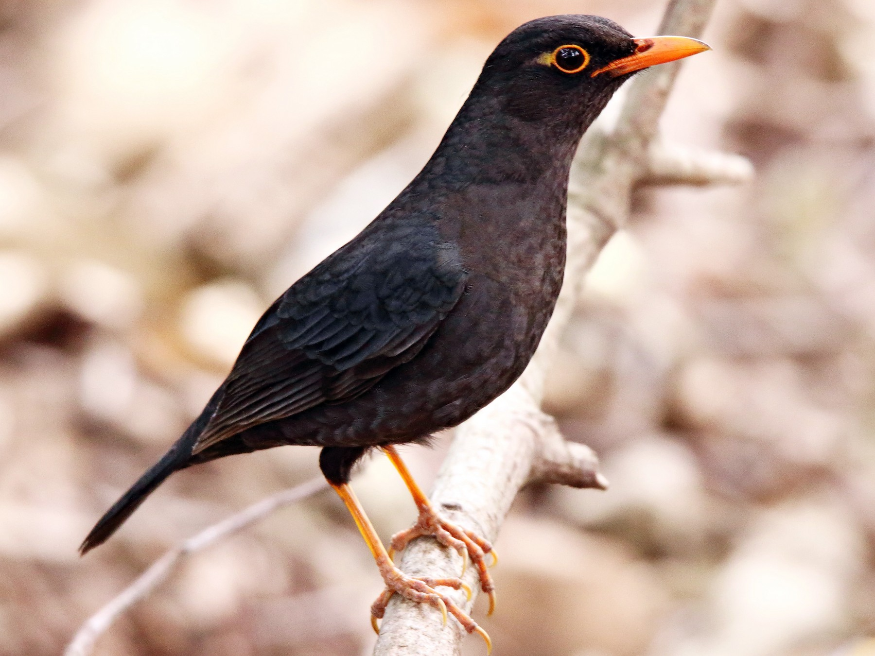 Indian Blackbird - Mohammed Sayeer