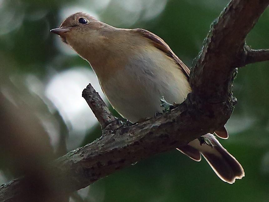 Kashmir Flycatcher - Albin Jacob