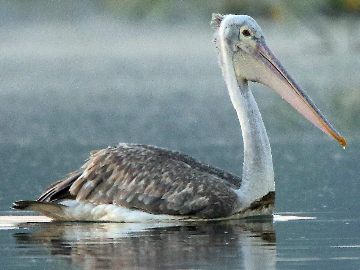 Spot-billed Pelican - Albin Jacob
