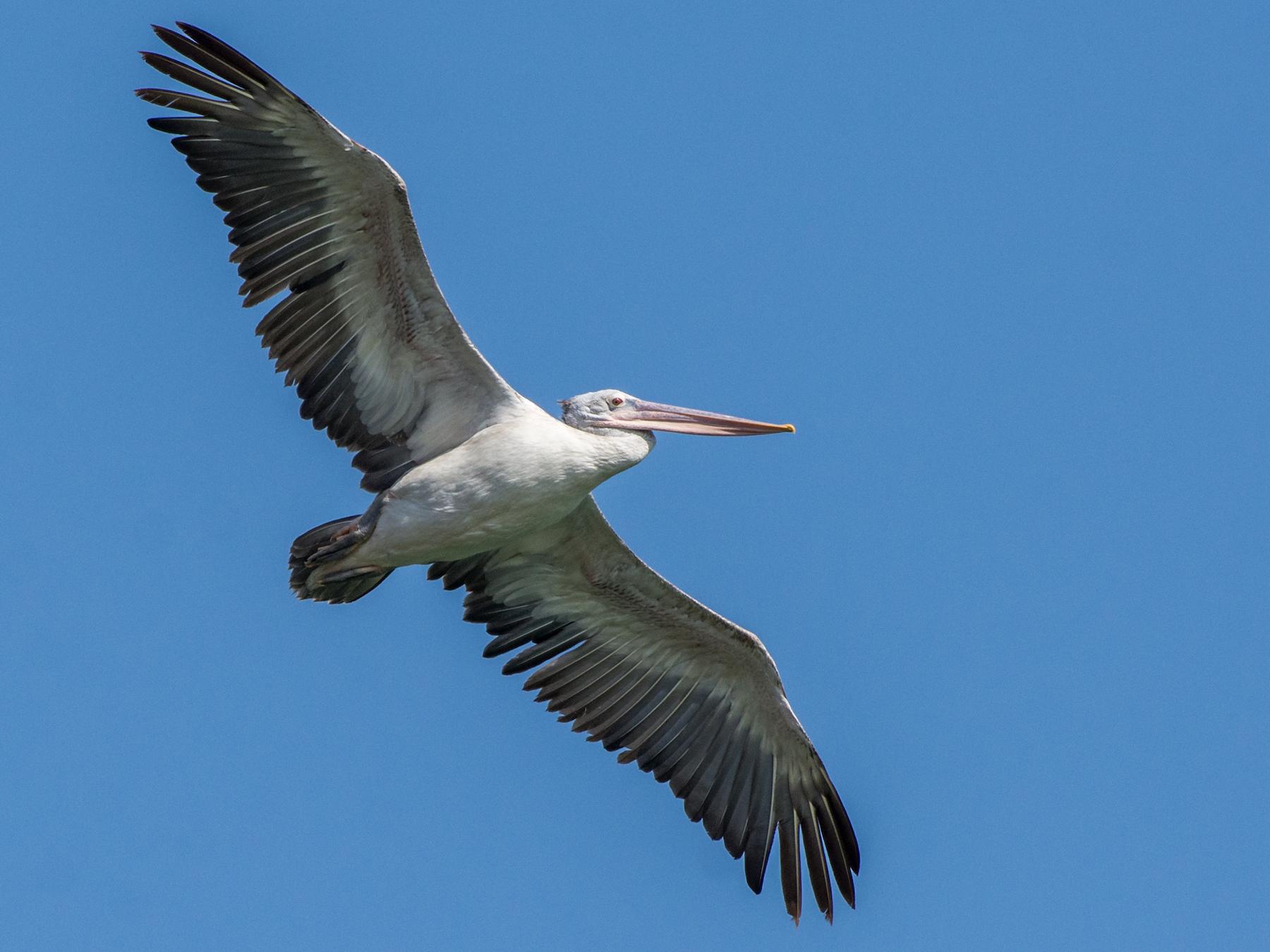 Spot-billed Pelican - Fareed Mohmed