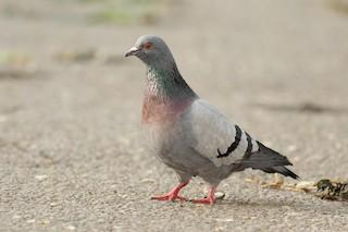 Rock Pigeon (Feral Pigeon), ML157330721