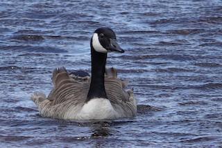 Canada Goose, ML157335141