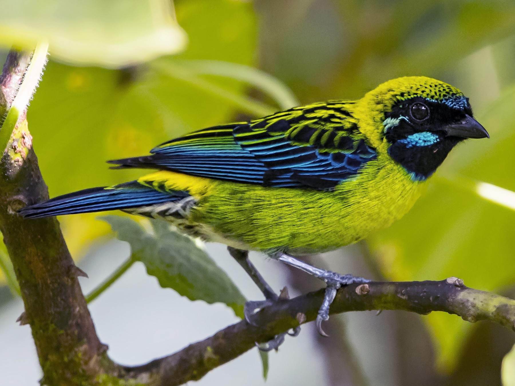 Blue-whiskered Tanager - Peter Hawrylyshyn