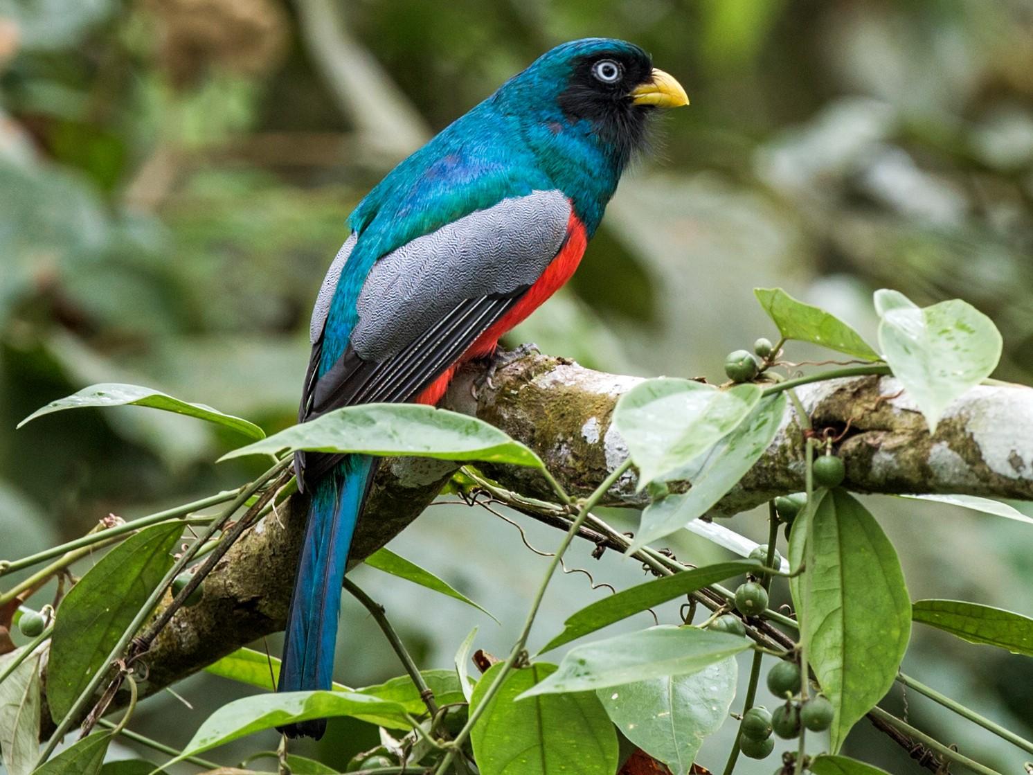 Blue-tailed Trogon - Nick Athanas