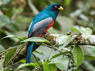 - Blue-tailed Trogon