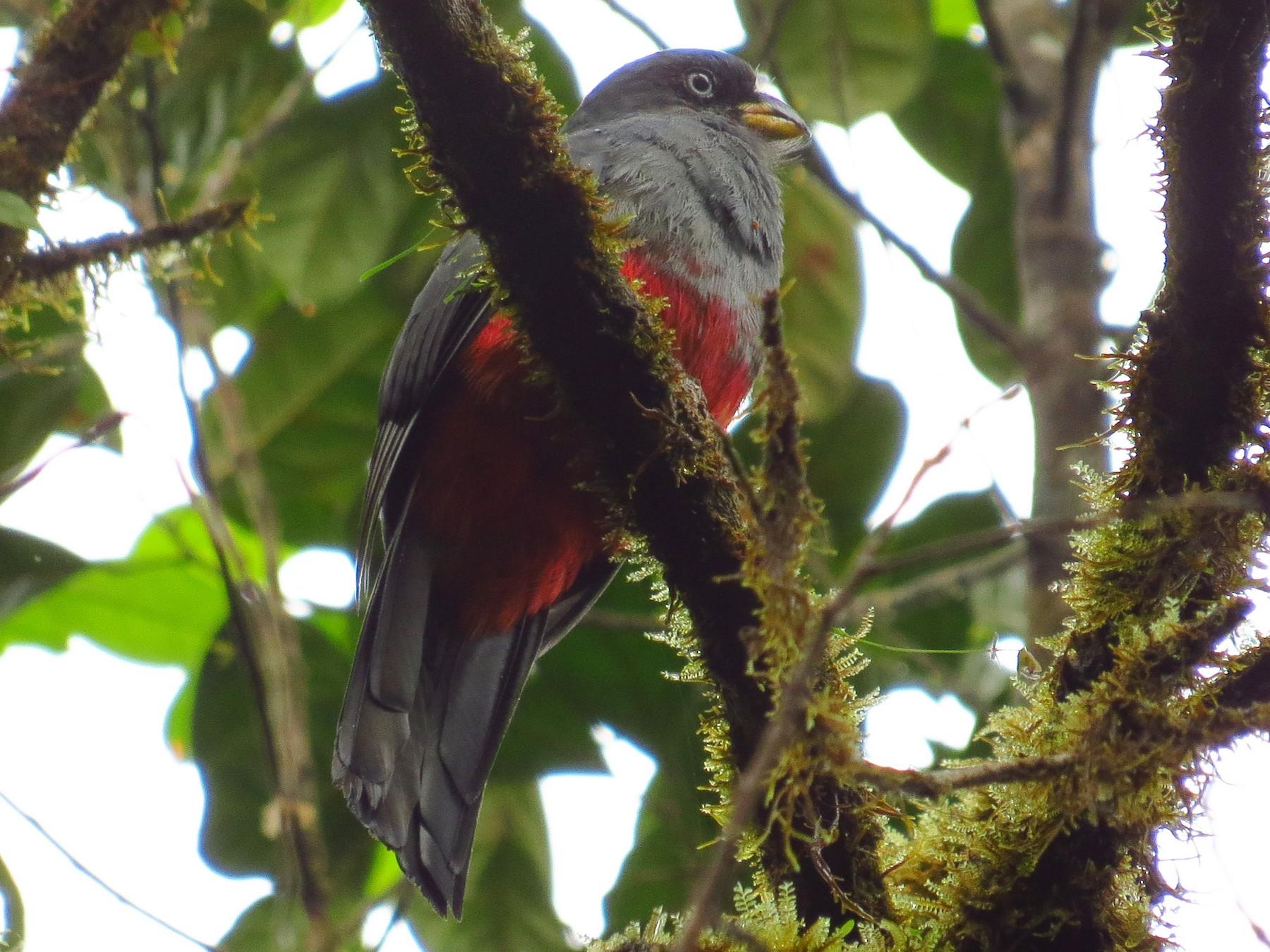 Blue-tailed Trogon - Jorge Muñoz García   CAQUETA BIRDING