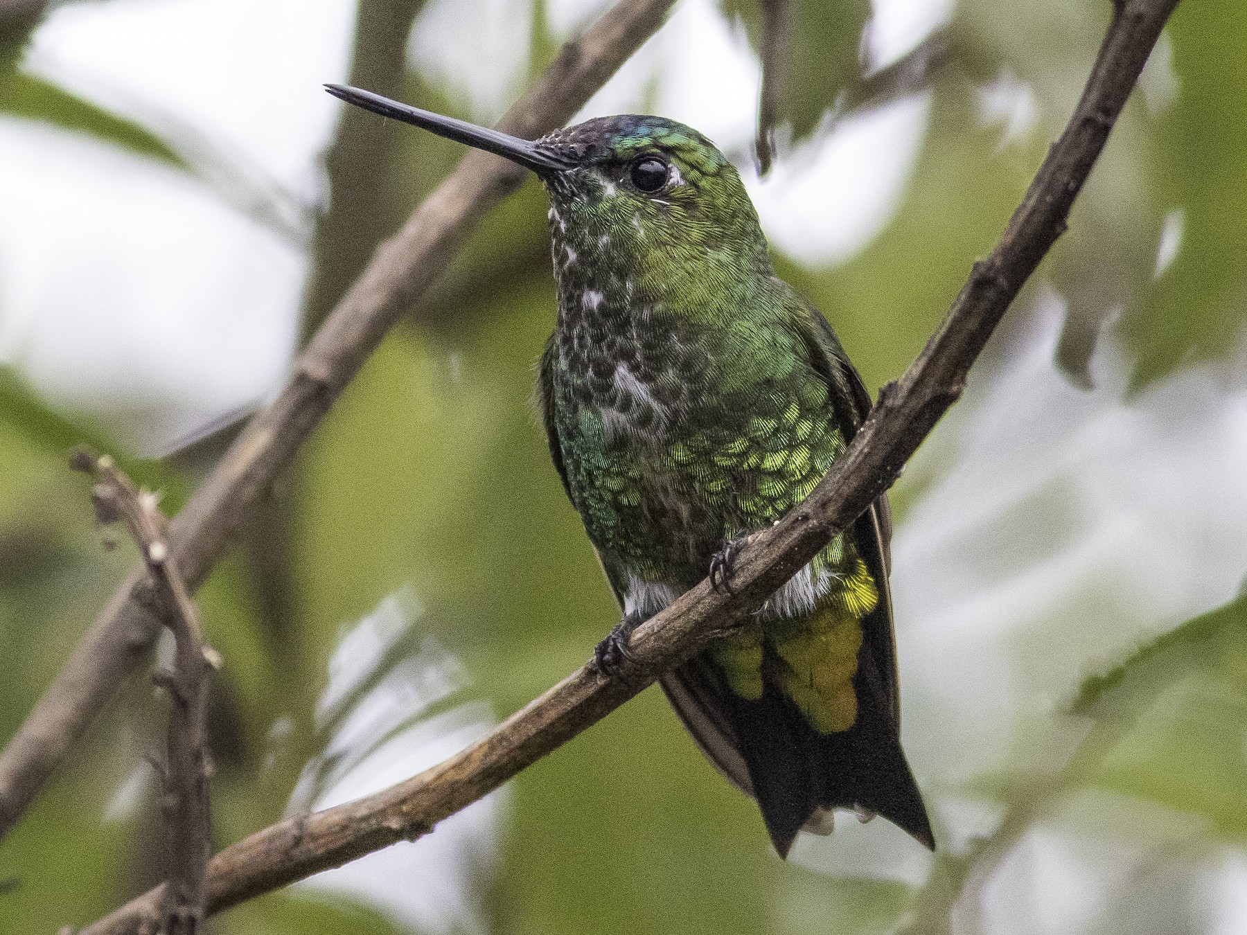 Black-thighed Puffleg - Jacob Drucker