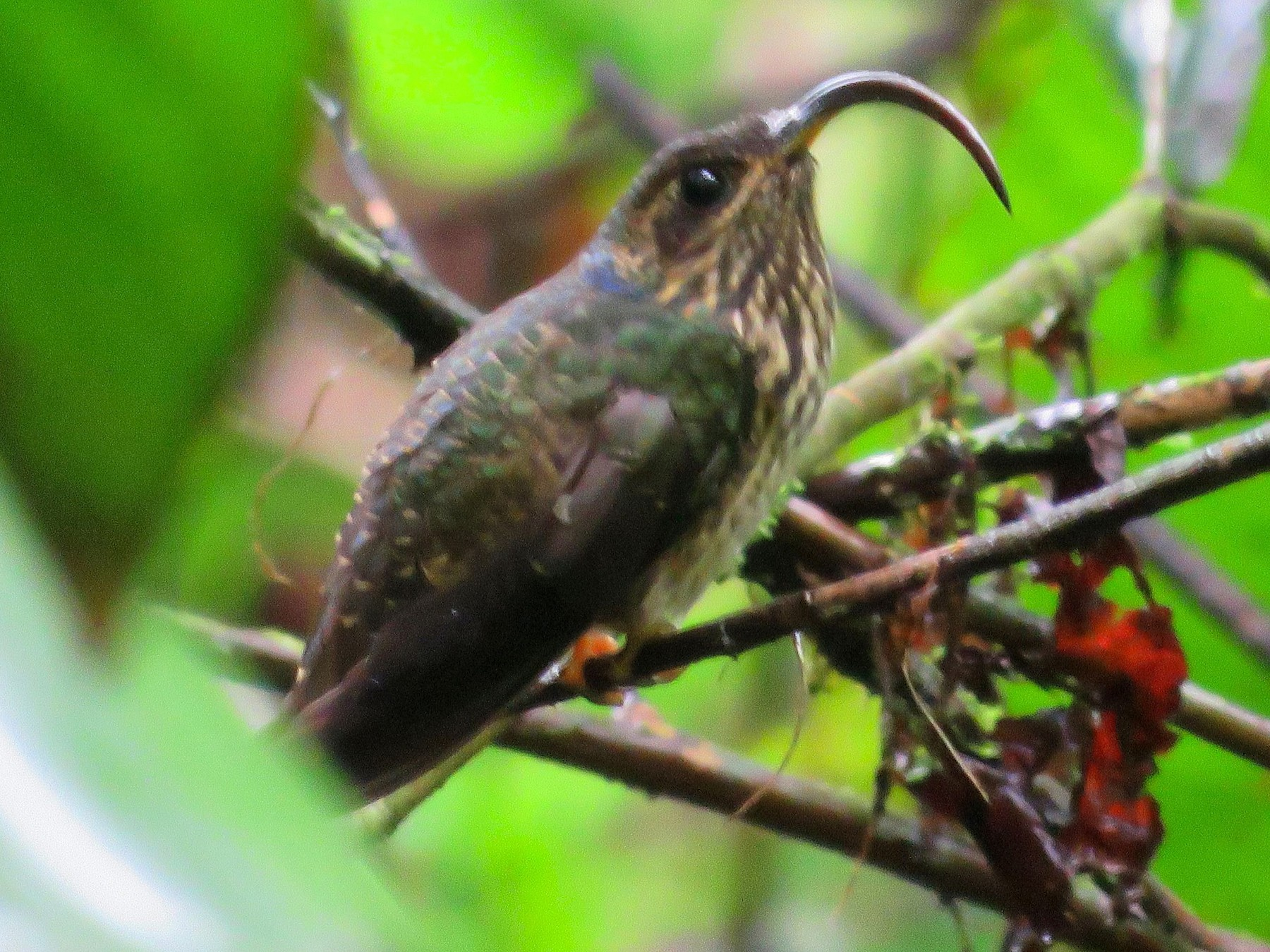 Buff-tailed Sicklebill - Brayan Coral Jaramillo