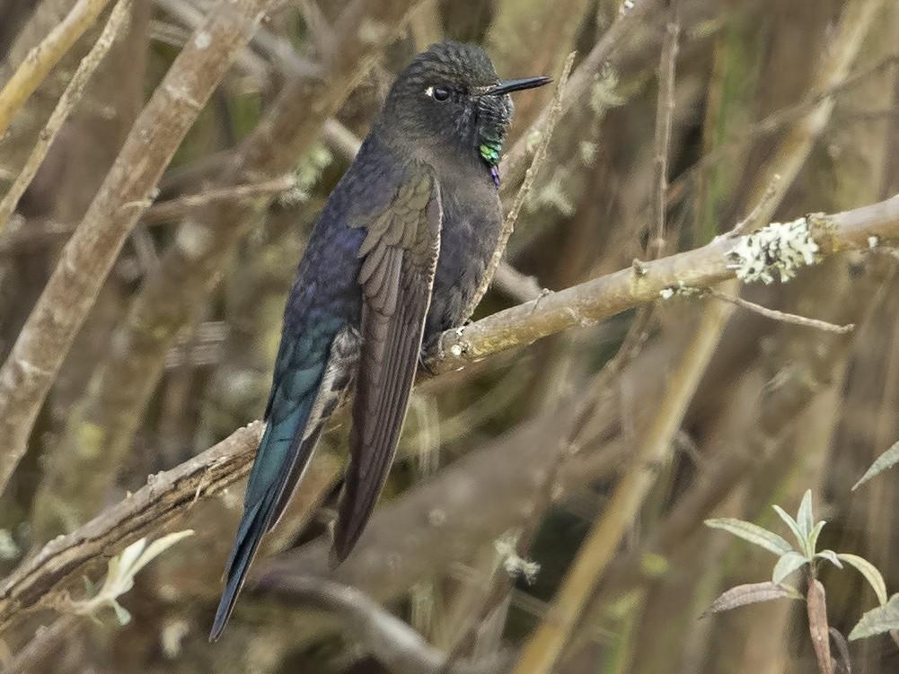 Blue-mantled Thornbill - Peter Hawrylyshyn