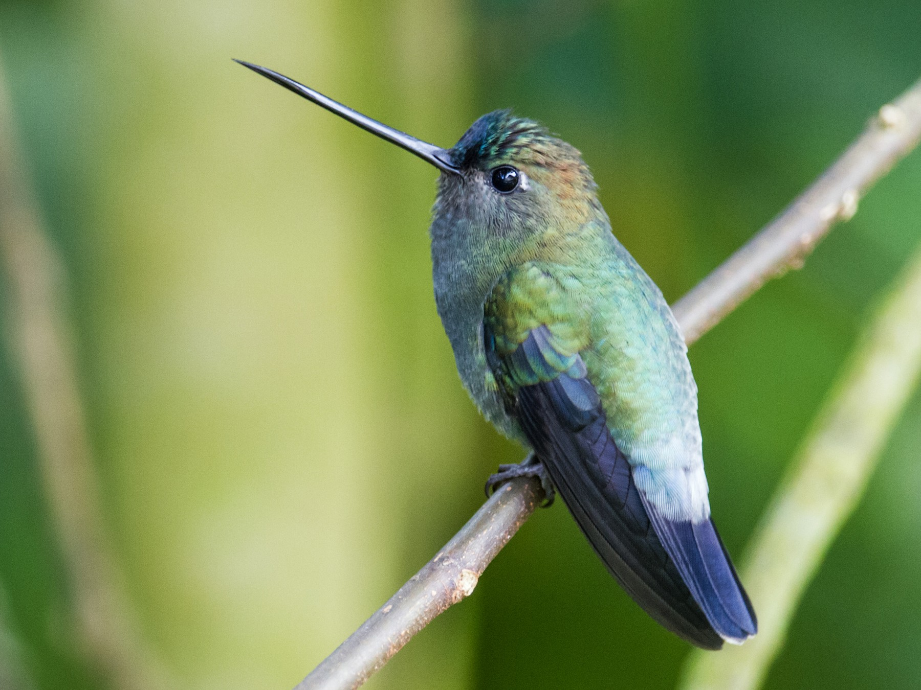 Blue-fronted Lancebill - Nick Athanas