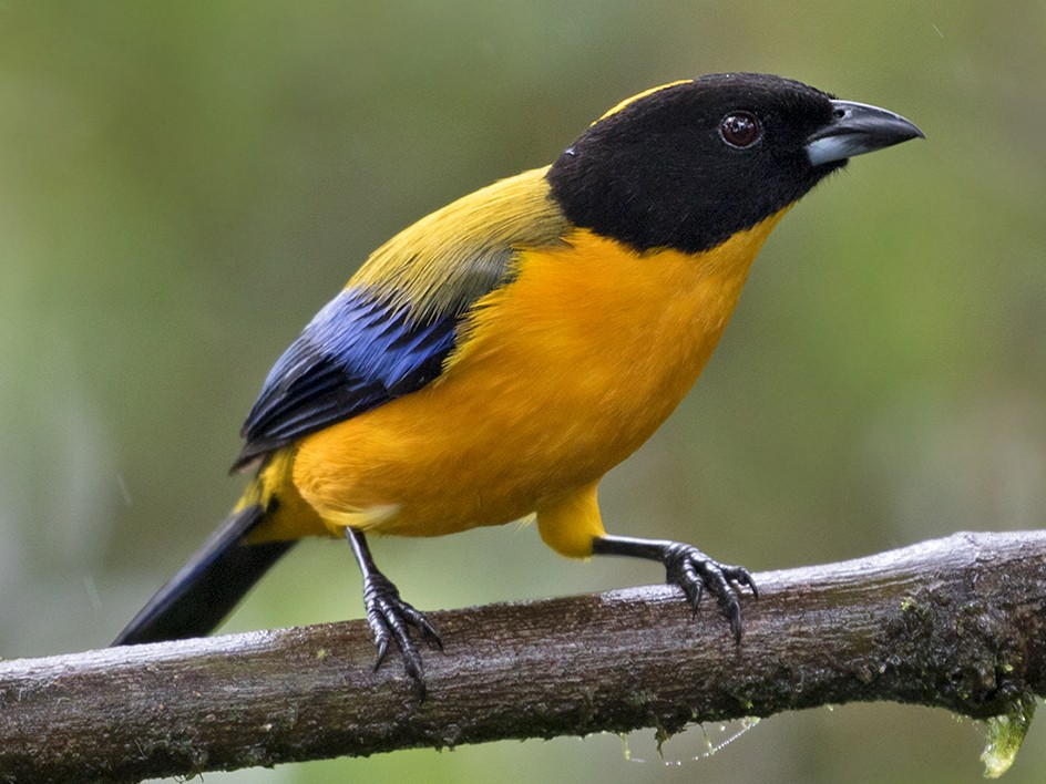 Black-chinned Mountain-Tanager - Sam Woods