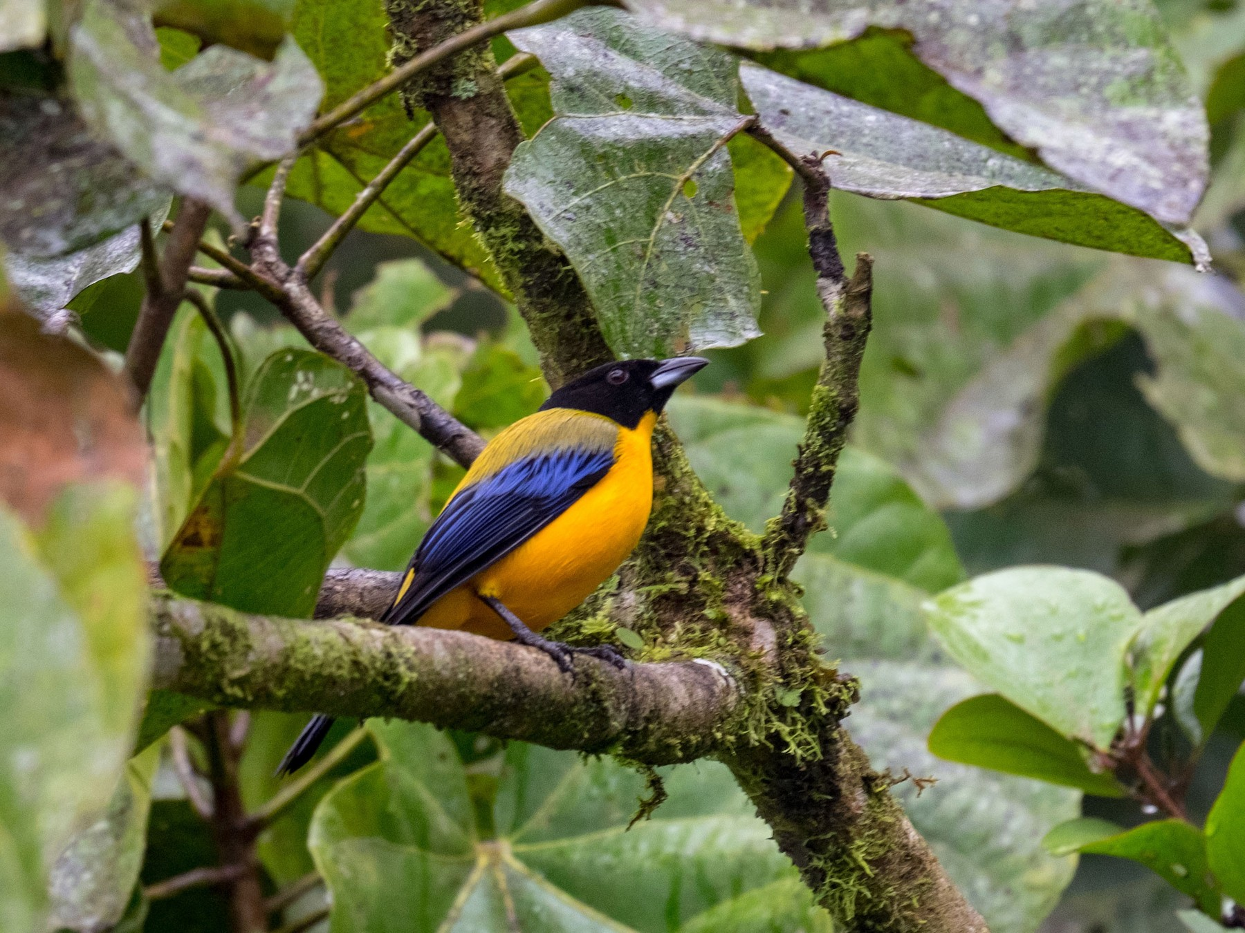 Black-chinned Mountain-Tanager - Bob Hasenick