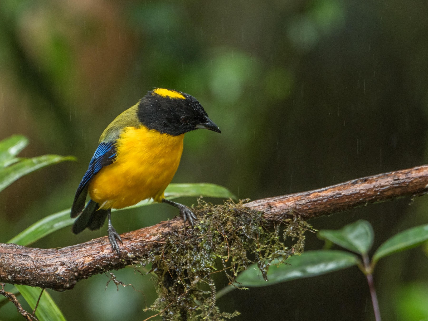 Black-chinned Mountain-Tanager - Ragupathy Kannan