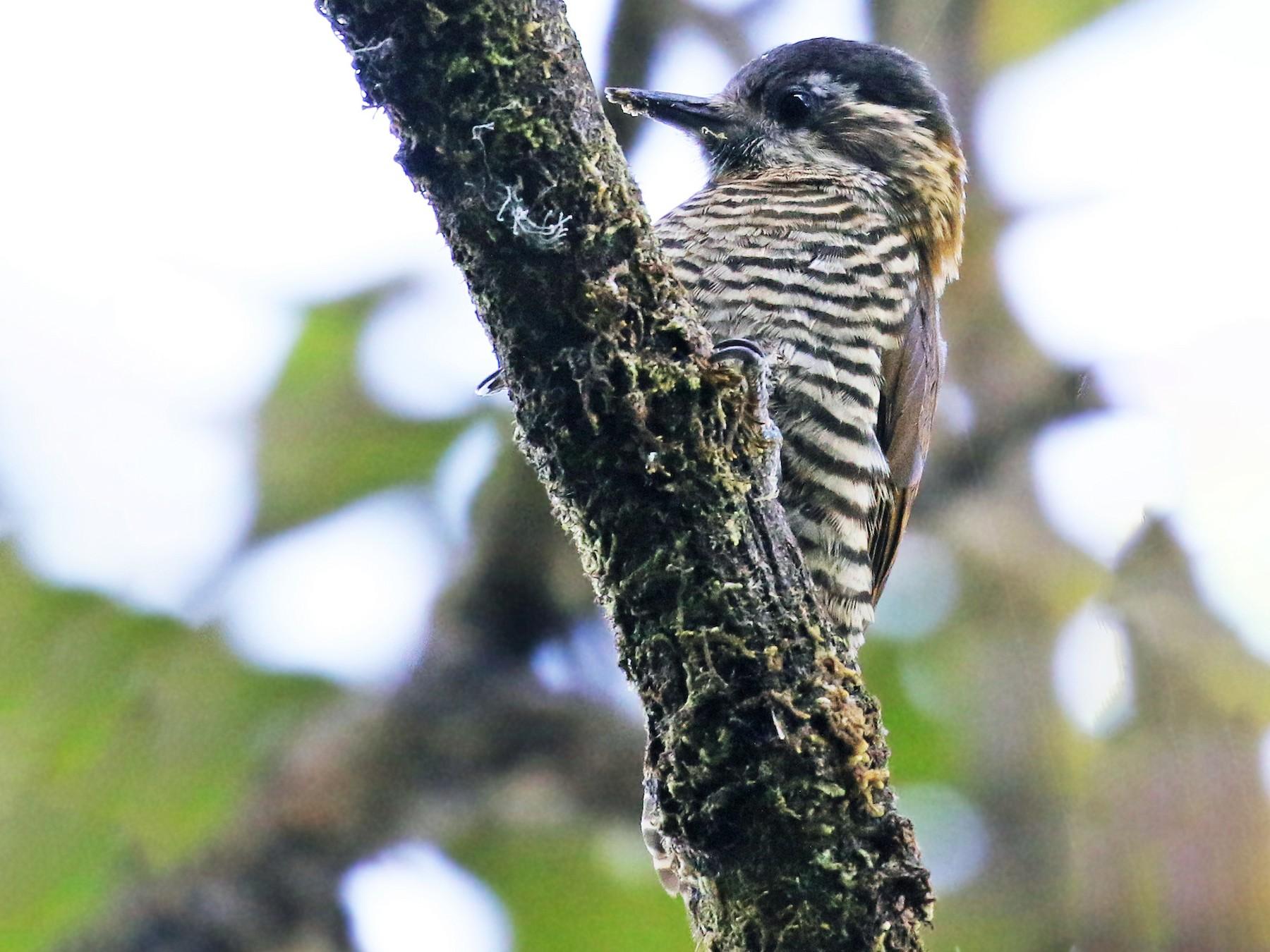 Bar-bellied Woodpecker - Andrew Spencer