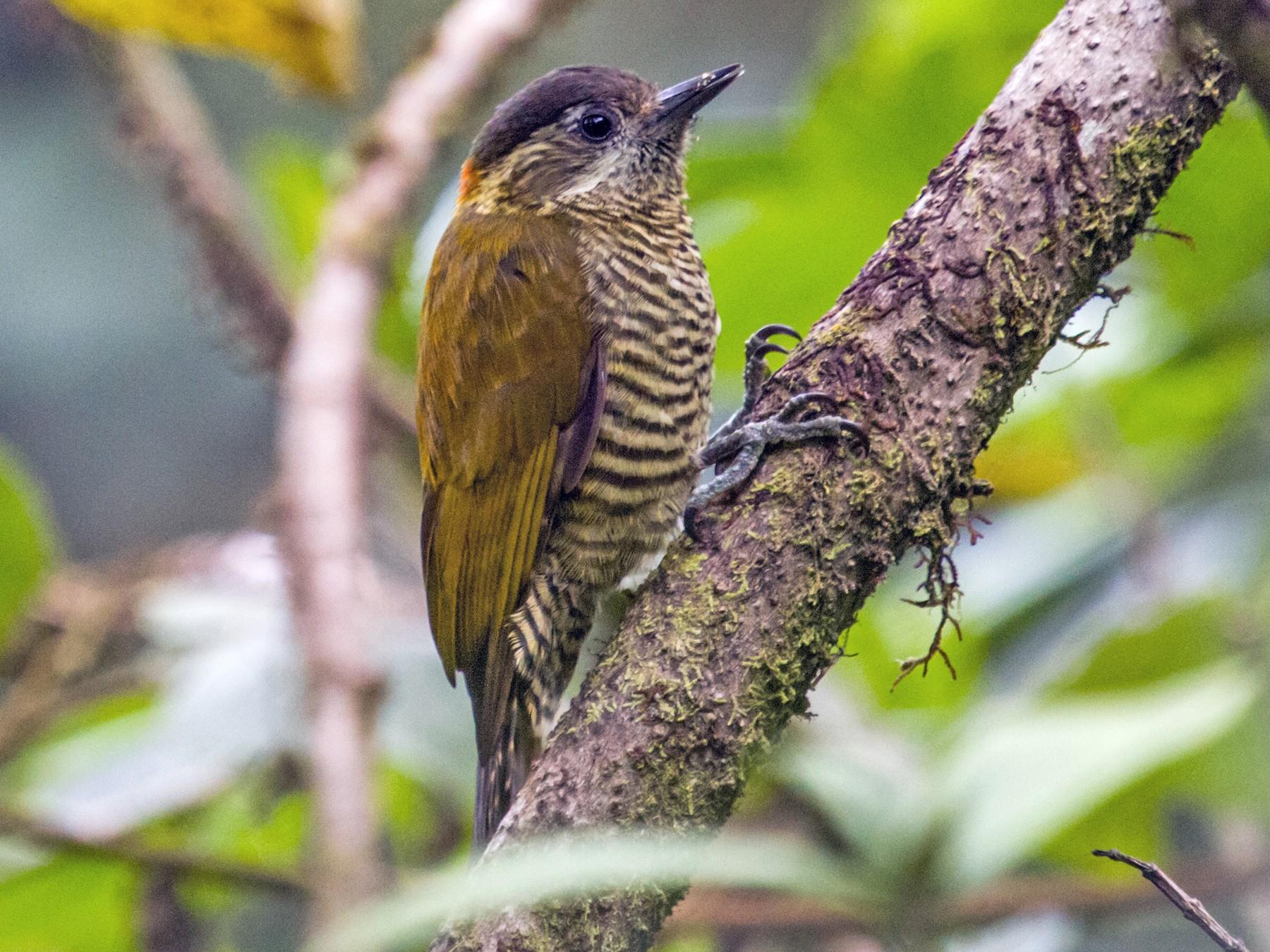 Bar-bellied Woodpecker - Nick Athanas