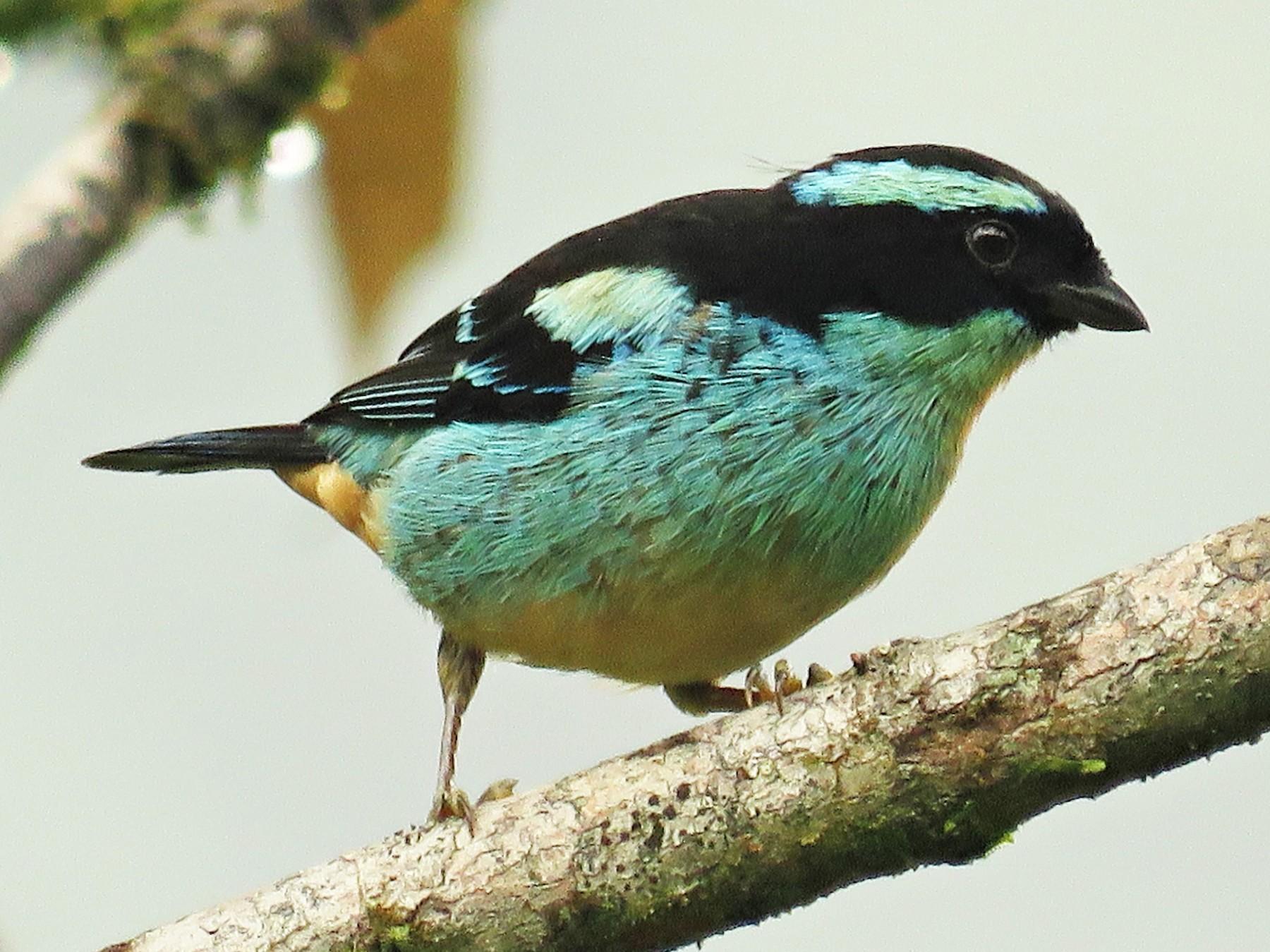 Blue-browed Tanager - Brayan Coral Jaramillo