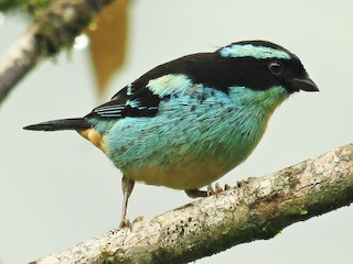 - Blue-browed Tanager