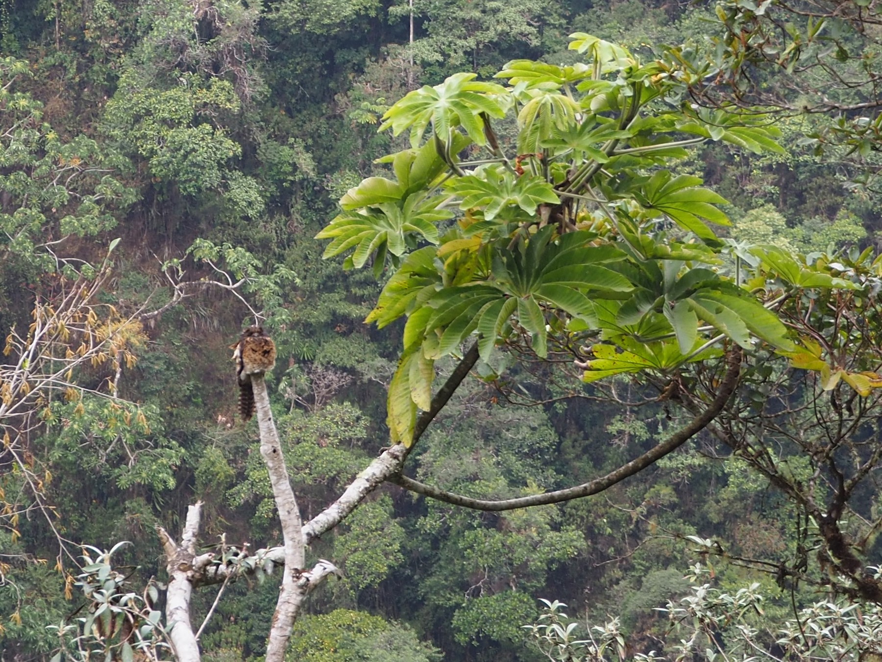 Andean Potoo - James Purcell
