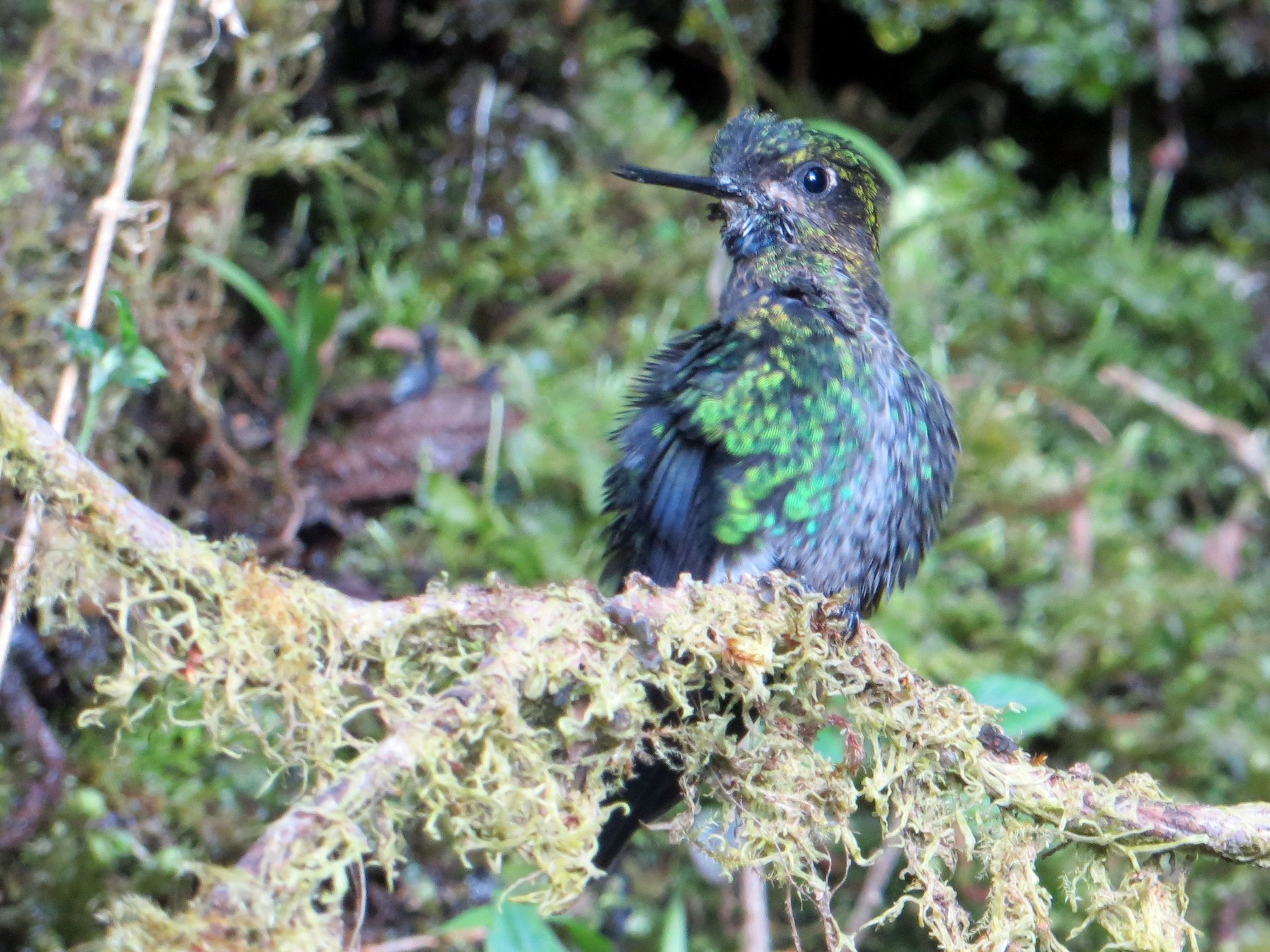 Black-breasted Puffleg - Jules  Wyman