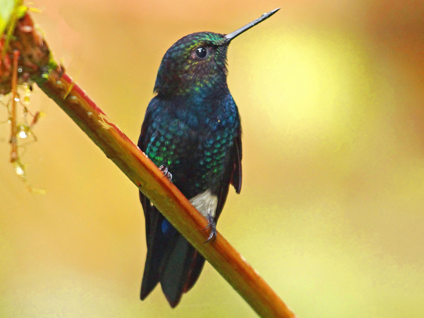 Black-breasted Puffleg - Dario Hipo