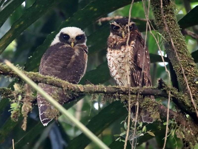 Band-bellied Owl - martin ernesto morales salazar