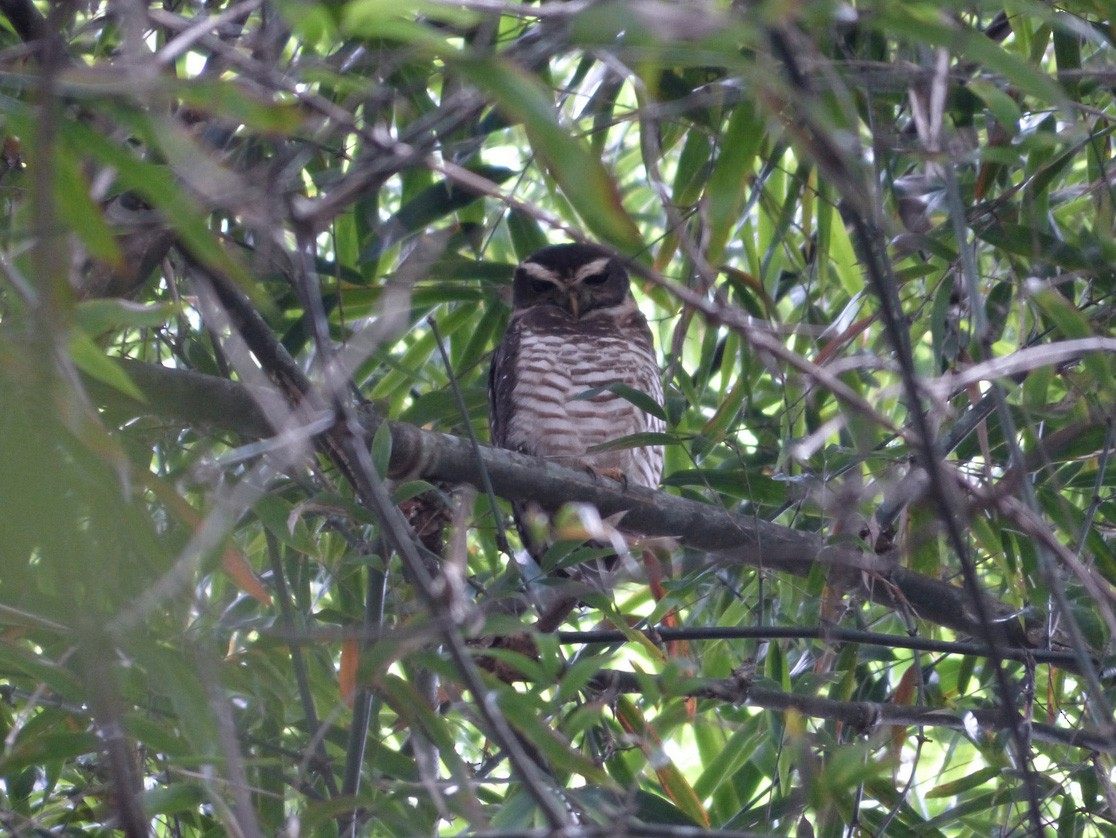 Band-bellied Owl - Andy Frank