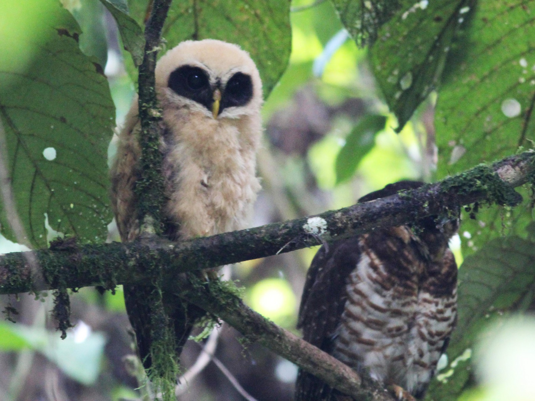 Band-bellied Owl - Gary Leavens